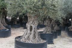 exclusieve_beplanting_olea-europea